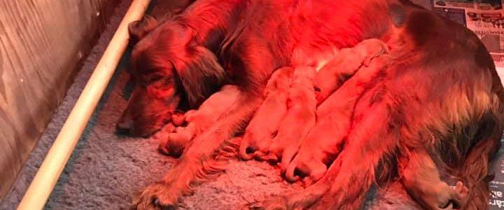 9 små røde hvalpe